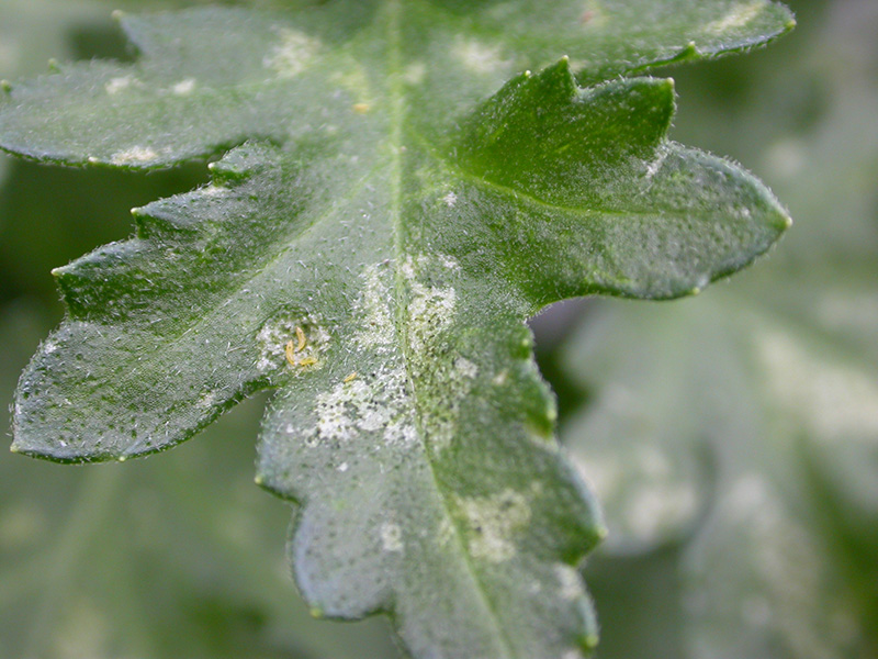 Thrips in greenhouse crops