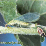 Green_lacewing