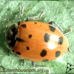 Hippodamia adult
