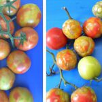 Tomato_brown_rugose_fruit_virus_symptoms_featured